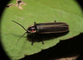 Świetliki owady